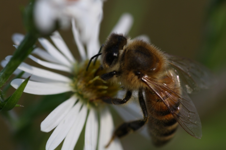 Honey bee on fleabane