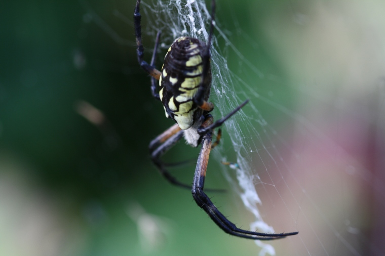This is the common black and yellow garden spider (Agriope aurantia)