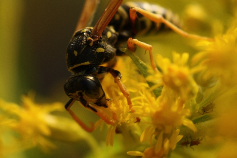 European Paper Wasp (Polistes dominulus)