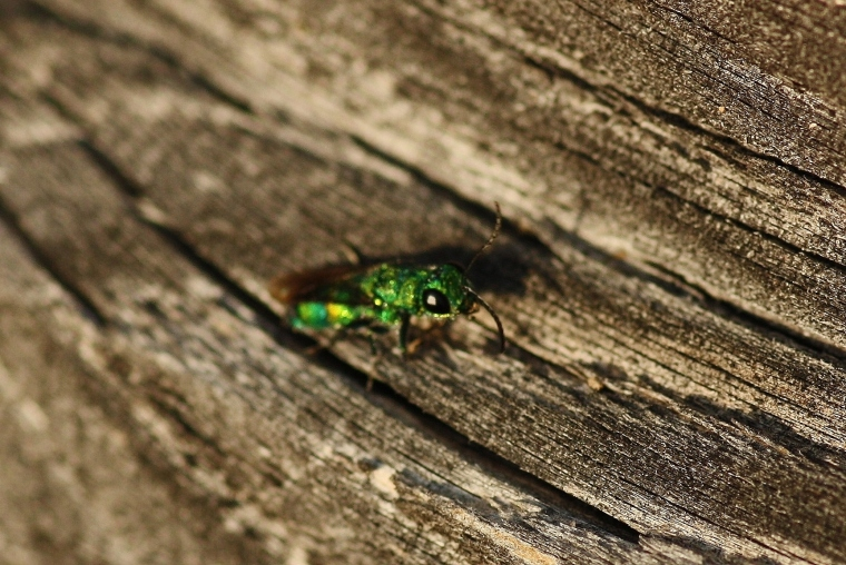 A cuckoo wasp of the genus Chrysis