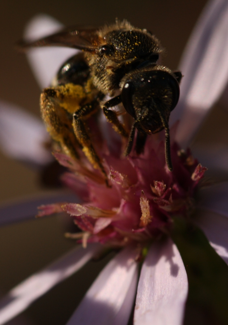 Sweat bee (Lasioglossum sp.)