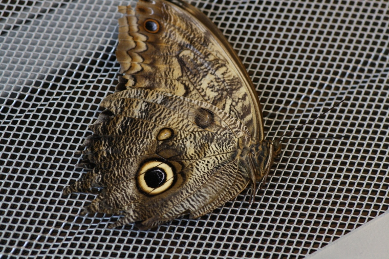 This Owl Butterfly (Caligo sp.) also did not survive