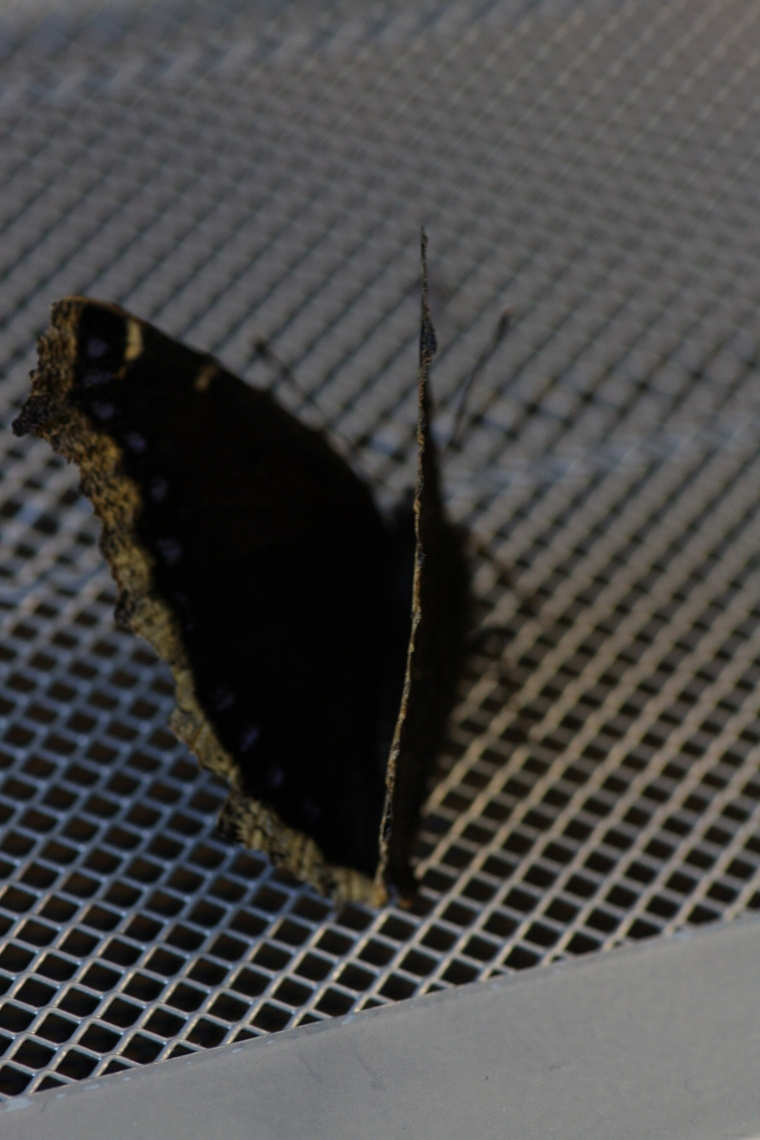 This is a Mourning Cloak, or Nymphalis antiopa