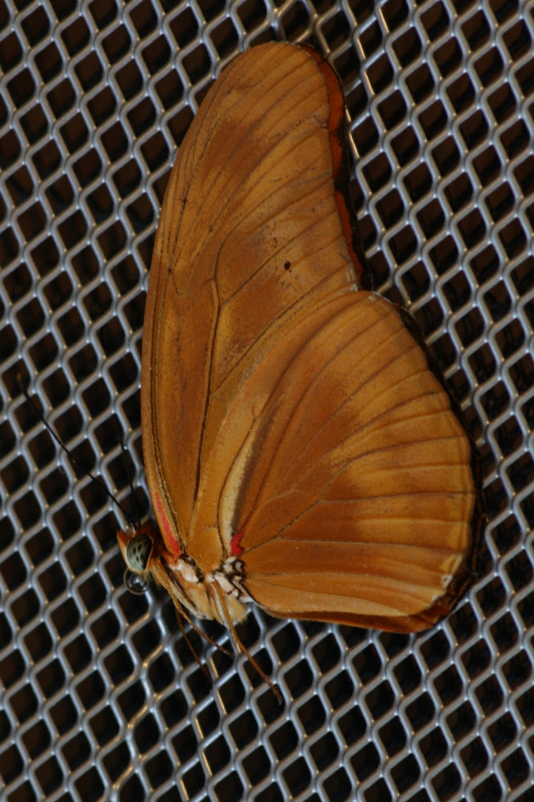 The Julia Butterfly (Dryas iulia) did not survive the children handling her