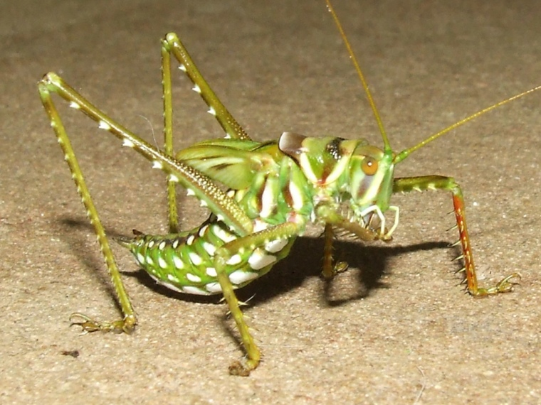 Spotted Predatory Katy-don't, courtesy of