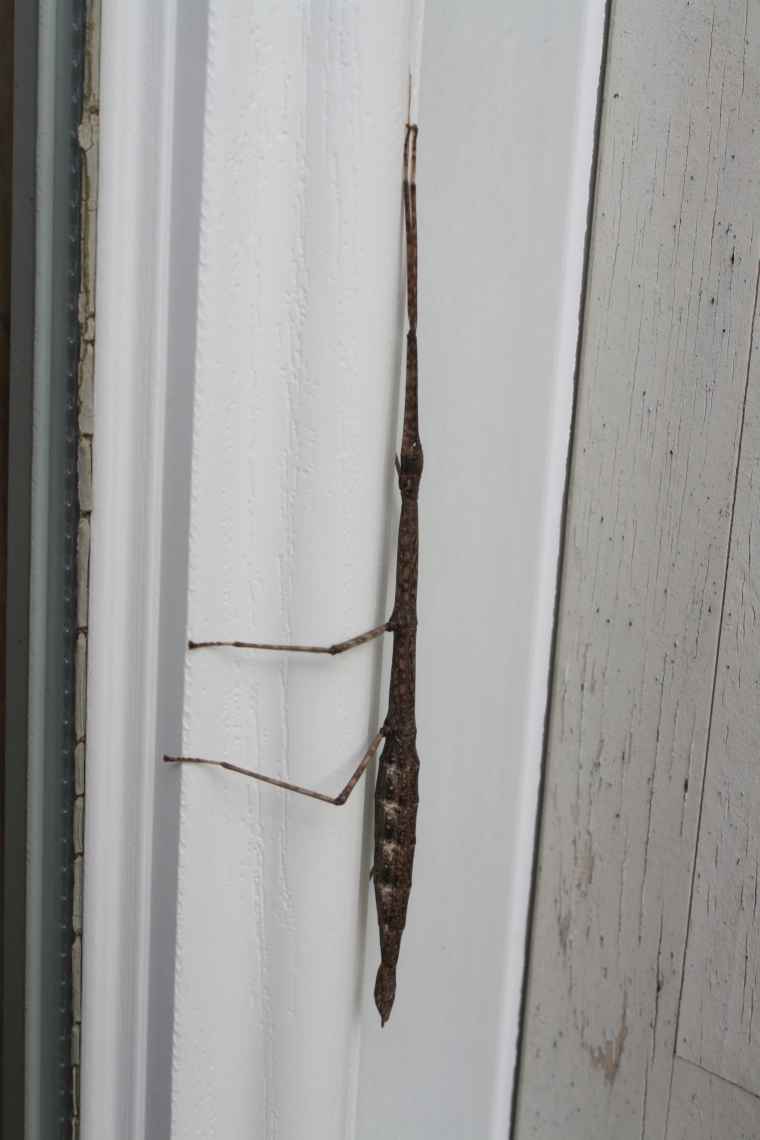 Though normally well-camouflaged and nearly impossible to see, this walking stick chose an unfortunate hiding spot...on my door frame!