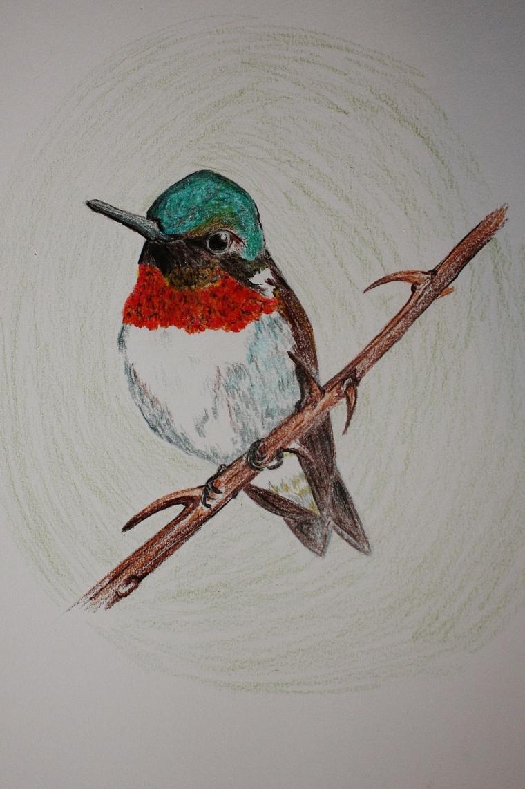 Ruby-Throated Hummingbird doodle