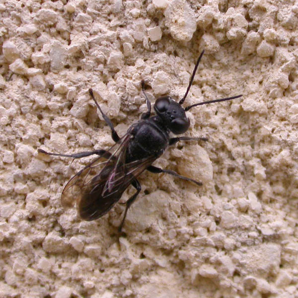 A congeneric Pison species, source