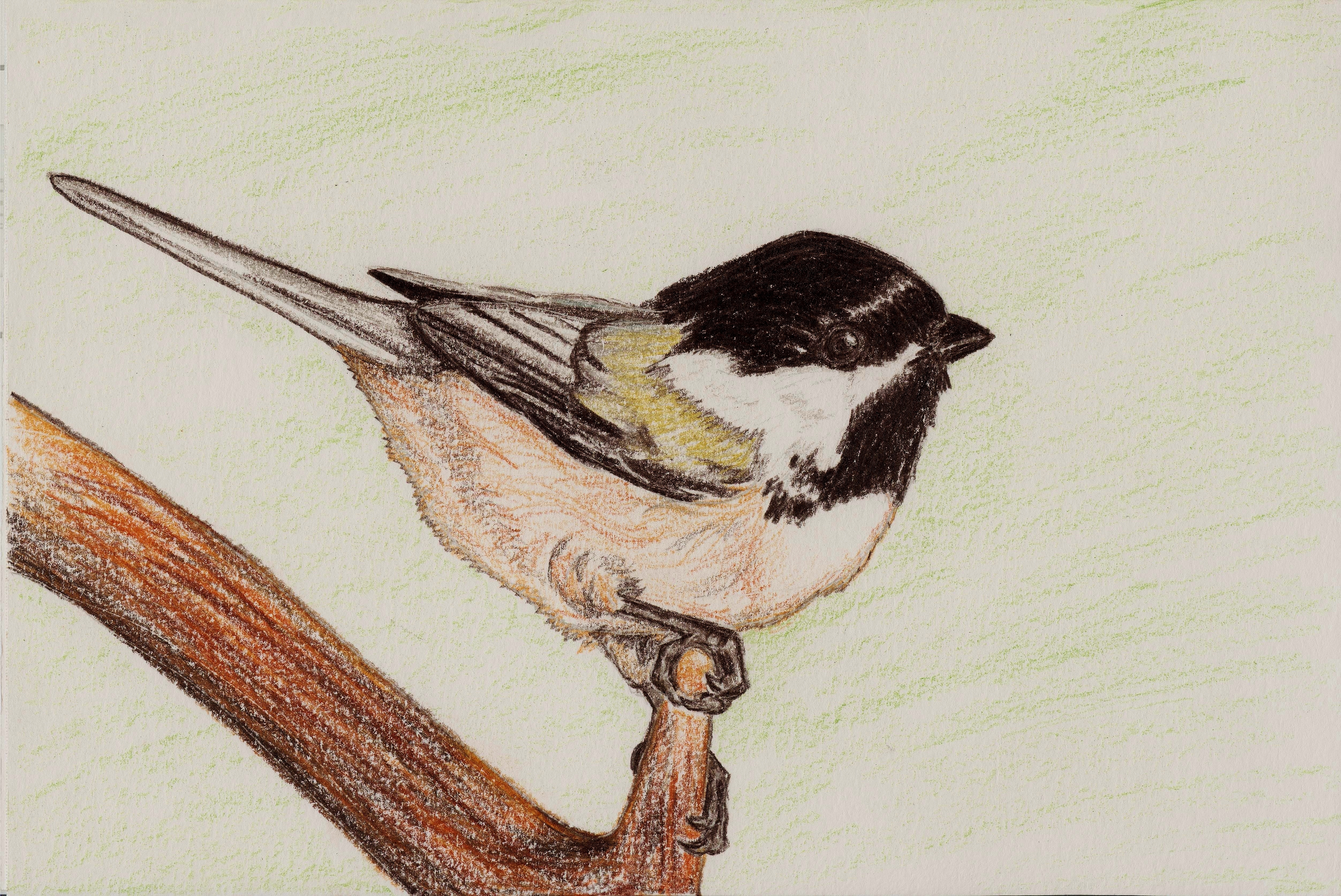 Black-capped Chickadee  drawing Black Capped Chickadee Drawing