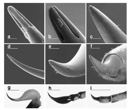 Figure 2 from Berkov et al 2007, the authors are comparing the antennae of the beetle to the stinger of a scorpion.  They are remarkably similar!