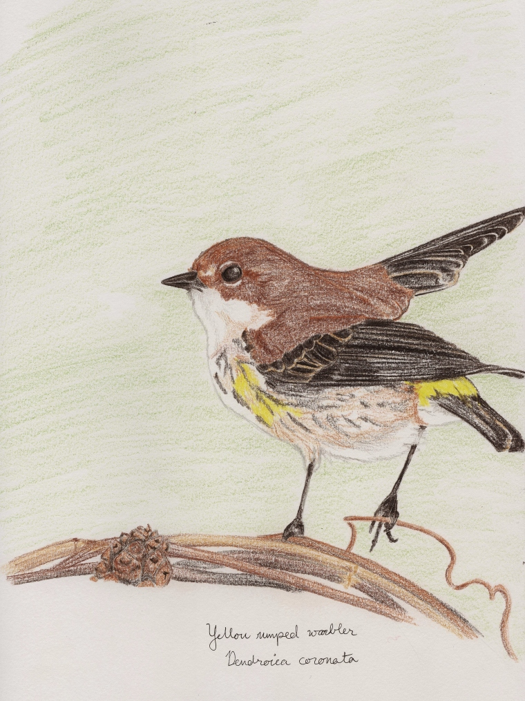Yellow rumped warbler (Setophaga coronata)