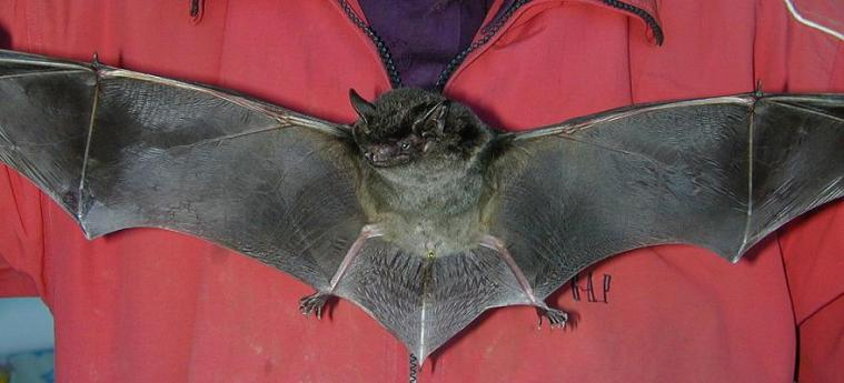 The Great Evening Bat is actually pretty large