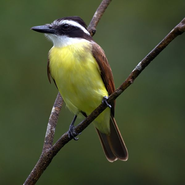 Great Kiskadee, photo source