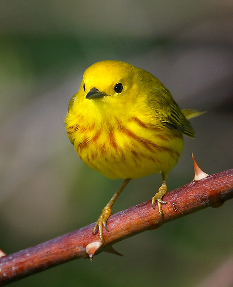 Yellow Warbler, photo by Friends of Sherwood Island