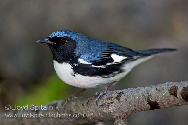 Black throated blue warbler, photo by