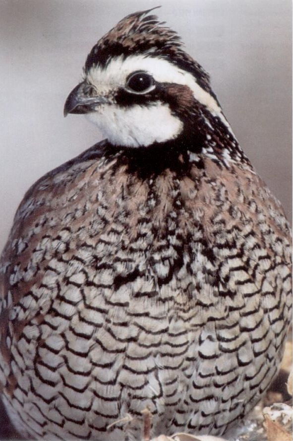 Bobwhite, photo by