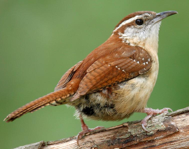 Carolina Wren, photo by