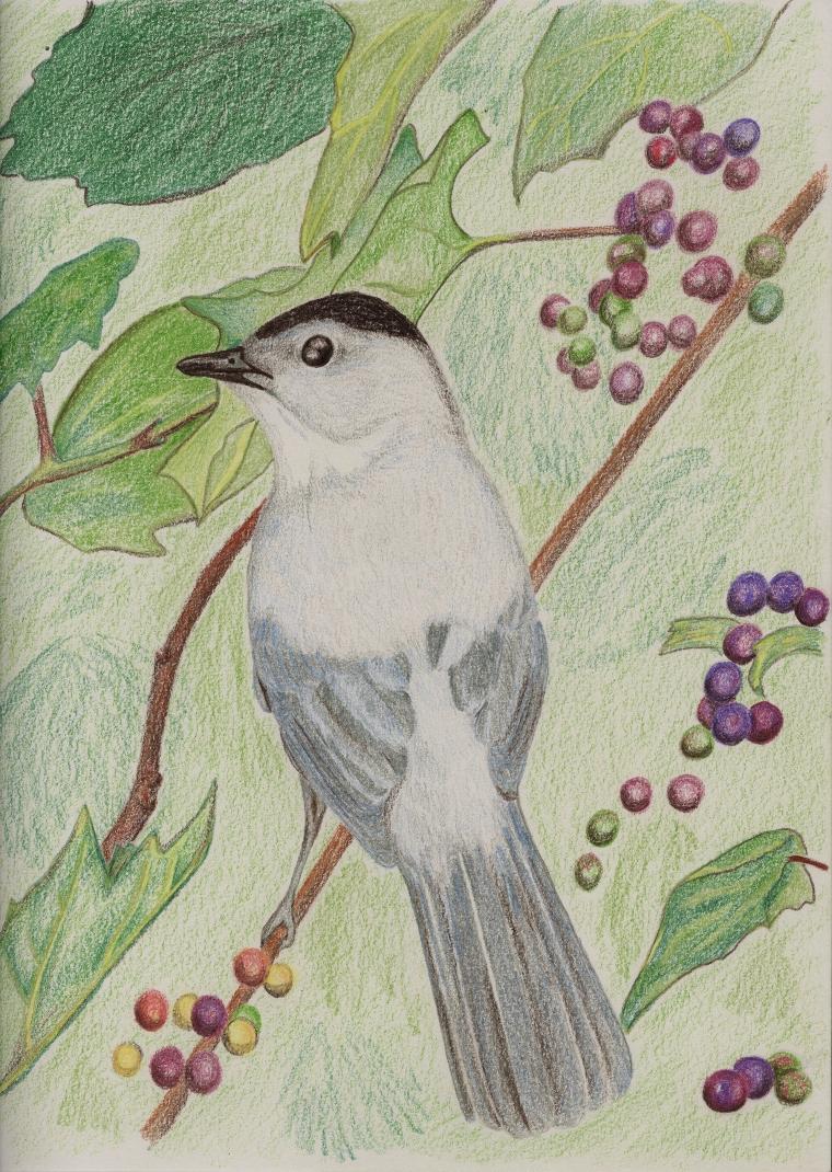 Grey Catbird (Dumatella carolinensis)