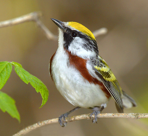 Chestnut sided warbler, source