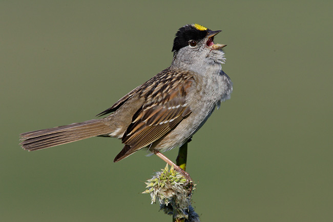 Golden Crowned Sparrow, photo image copyright 2004 Arthur Morris/BIRDS AS ART