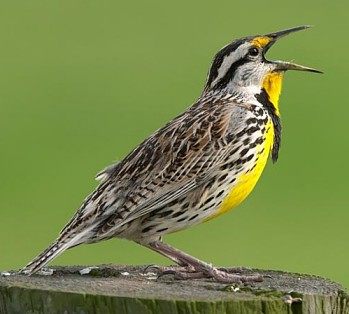 Eastern Meadowlark, photo by