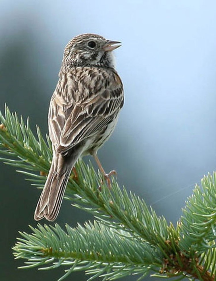 Vesper Sparrow, photo source