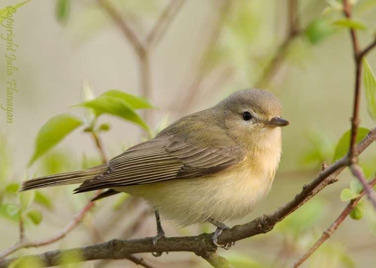 Warbling Vireo, photo by (PS very cute, have not seen this bird in the wild)