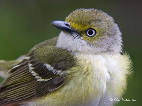 White eyed vireo, photo source