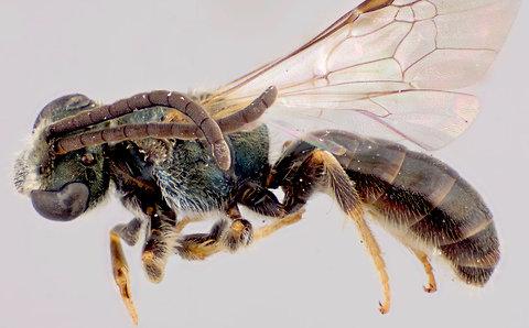 Lasioglossum gothami, photo by Jason Gibbs