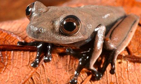 Cocoa frog, photo by Stuart V Nielsen/Conservation International