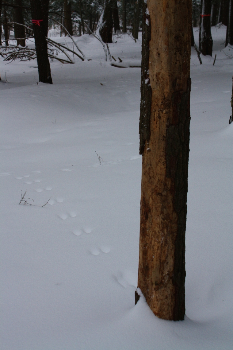 I actually do enjoy seeing all the animal tracks.  The squirrel tracks leading up to the trees are always cute