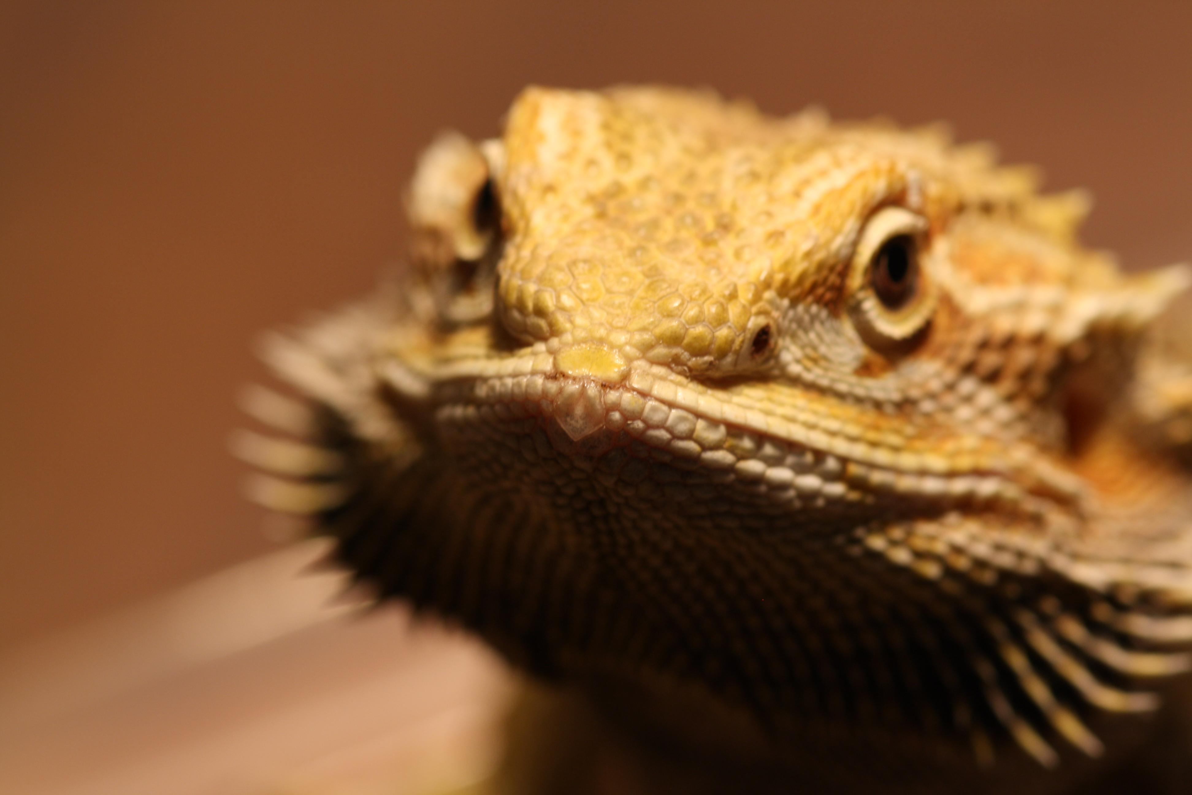 Dragon With Beard Bearded Dragons | stan...