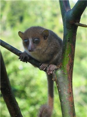 GERP mouse lemur, photo by B. Randrianambinina