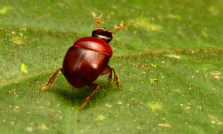 Lilliputian Beetle, photo by Trond Larsen/Conservation International