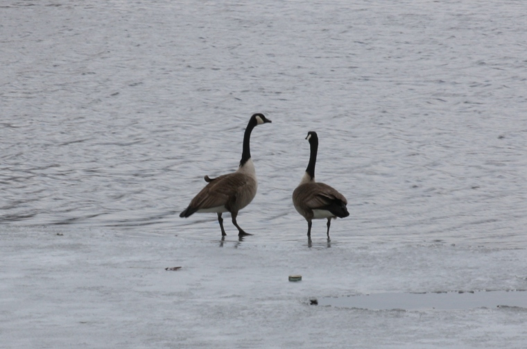 Canada Geese showing some sass