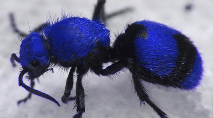 Blue velvet ant, source (I can stop any time I want to!!!)