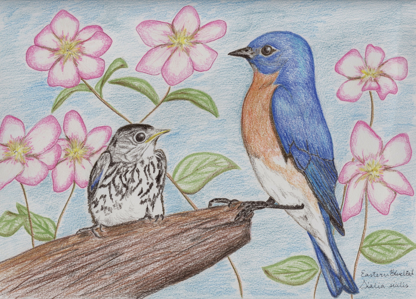 eastern bluebird drawing 2 standingoutinmyfield