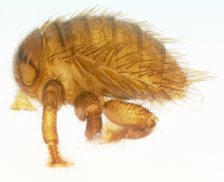 Bee louse, source