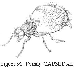 Carnid fly, source