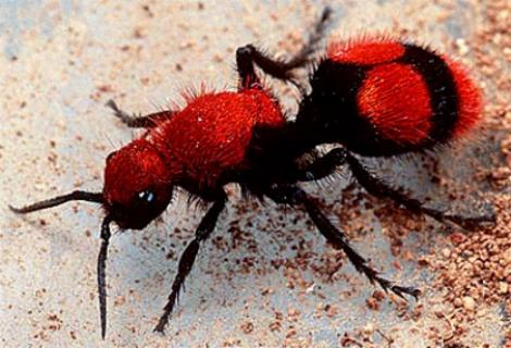 Red velvet ant, source