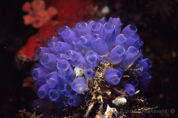 Sea squirts are a class, yay sea squirts! source