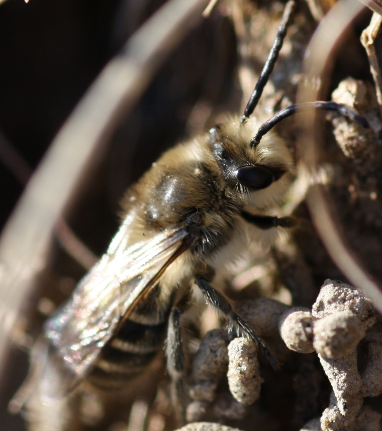 This is a male cellophane bee (Colletes inaequalis)