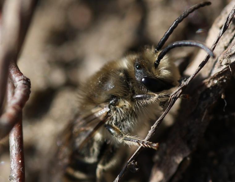 The males emerge first in the spring and wait for the females to emerge so that they can mate