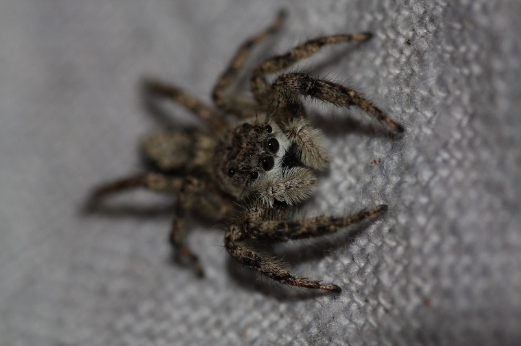 This is the same spider I've photographed before...a Long Island Jumping Spider...he's still living happily in my bed :)