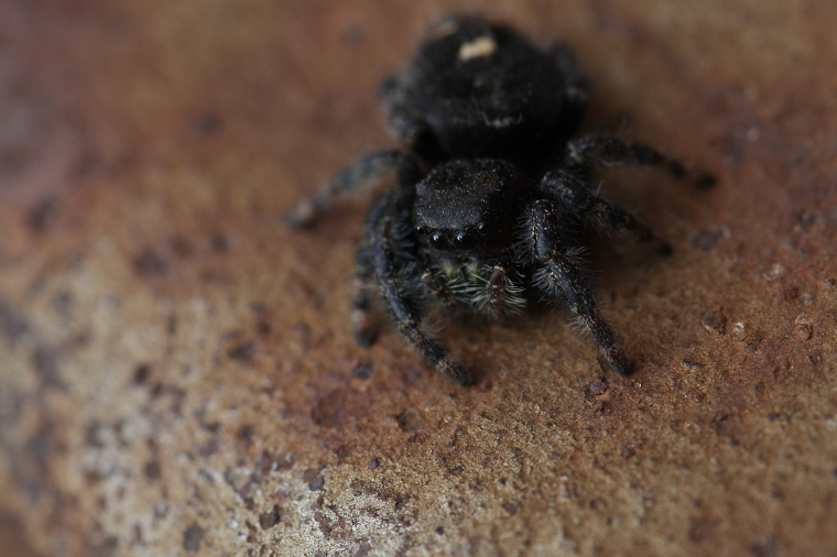 This is a bold jumping spider Phidipus audax