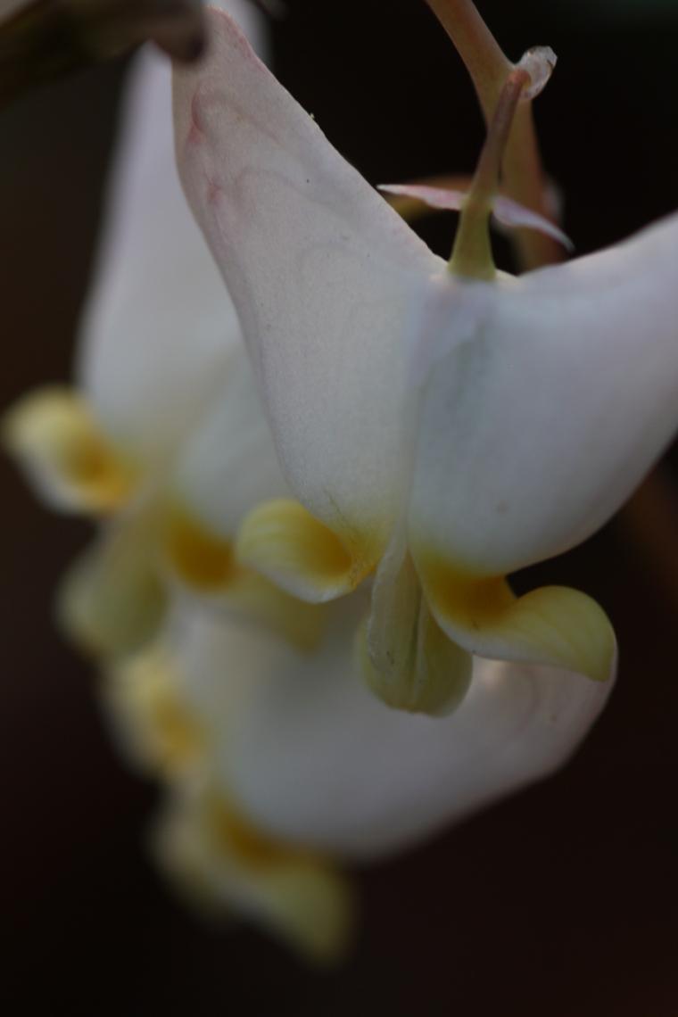 Dutchman's britches (Dicentra cucullaria)