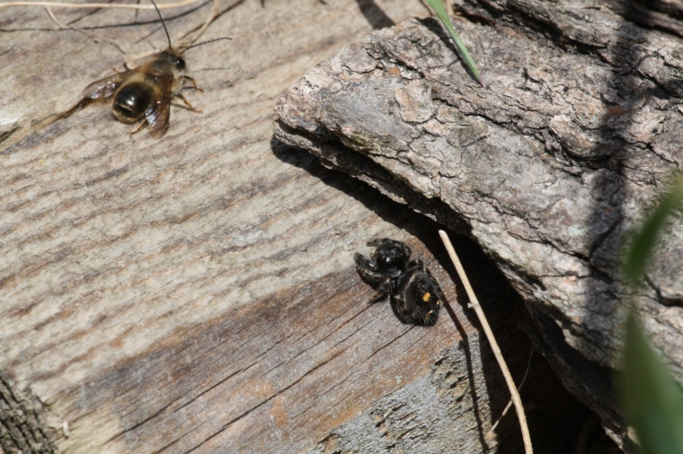 I saw this jumping spider sneaking up on one of the resting bees and thought I'd catch the whole hunt