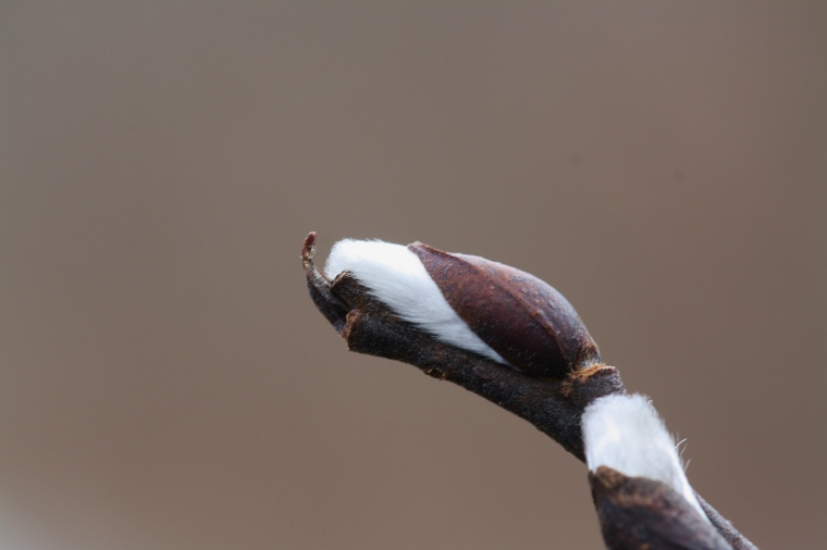 Willows are another early blooming species...not yet, but soon!