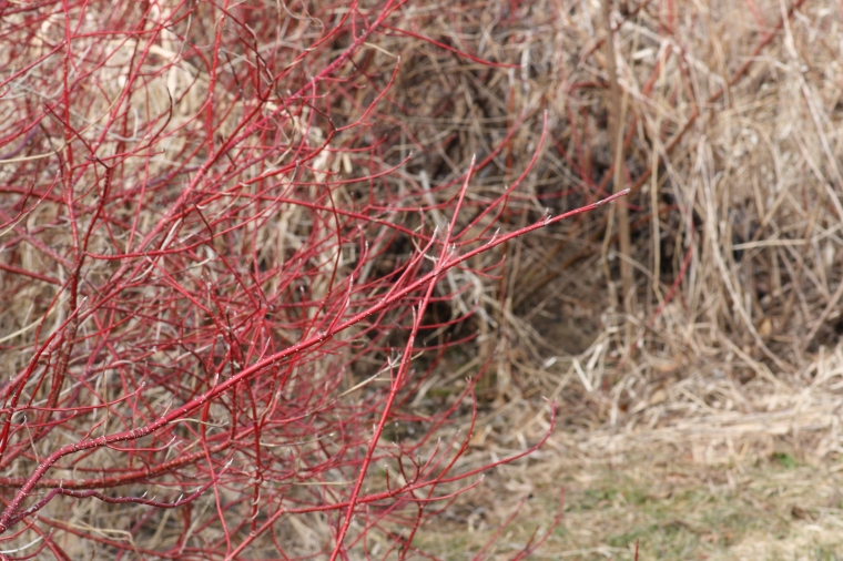 Red osier dogwood has such brilliant red stems