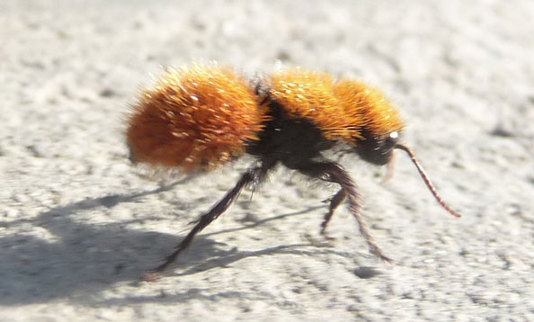 Cute velvet ant, source (Okay I'm done stop judging me)